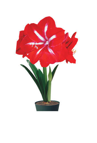 Amaryllis Quot Star Of Holland Quot Flower Bulb Gift Box Kit 1