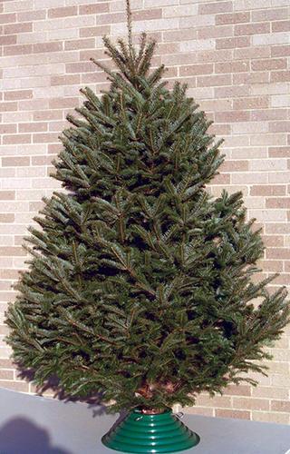 Balsam Christmas Trees.Fresh Cut Balsam Fir Christmas Tree At Menards