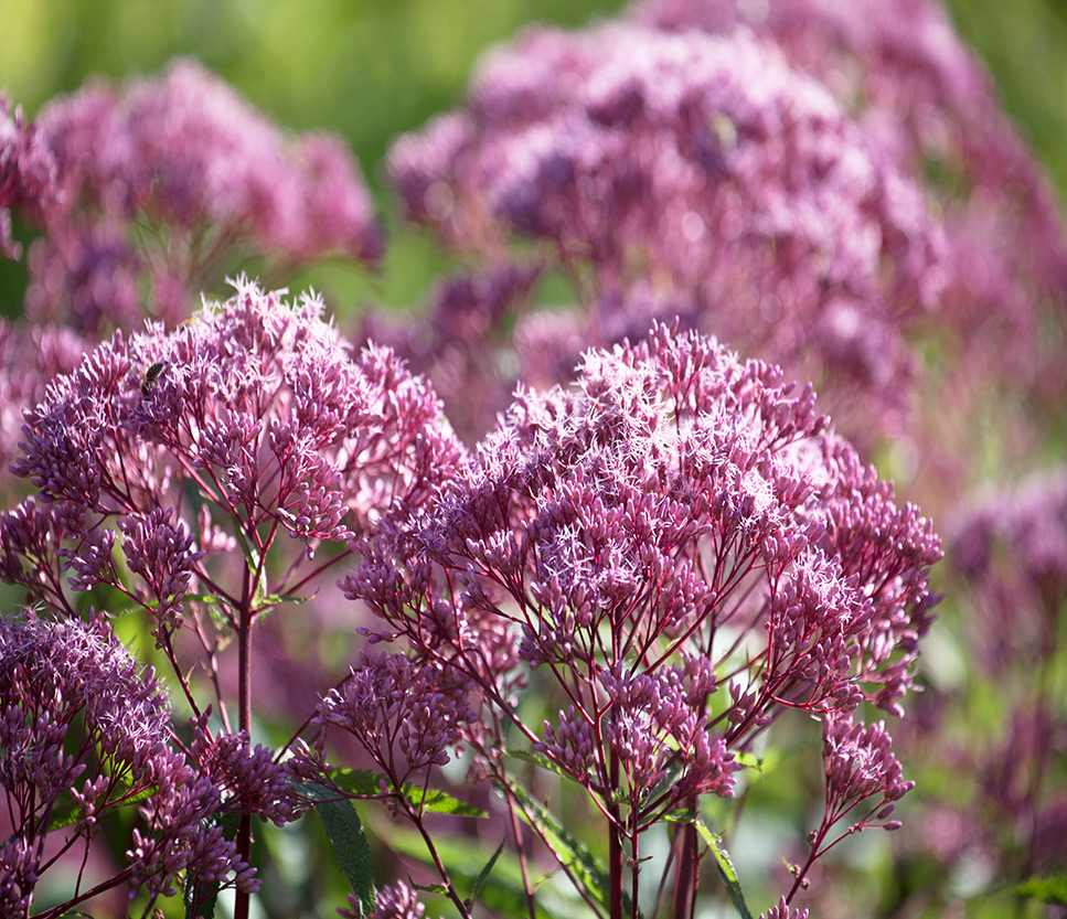 Midwest Native Plants at Menards®